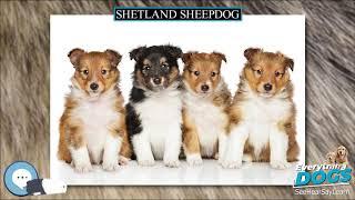 Shetland Sheepdog  Everything Dog Breeds