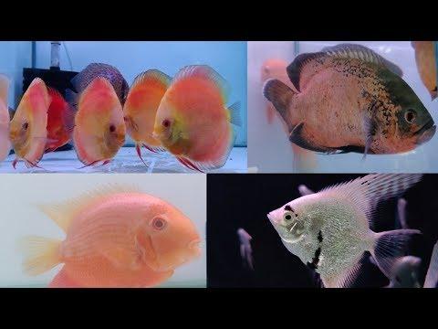 Parrot Fish, Oscar Fish, Flowerhorn Fish, Discus Fish At Aakar Aquarium Fish Store Borivali