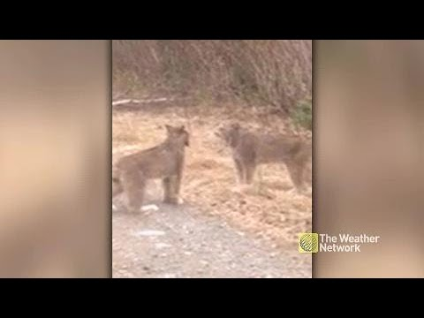 Two lynx screaming at each other on the road, can you stand it?