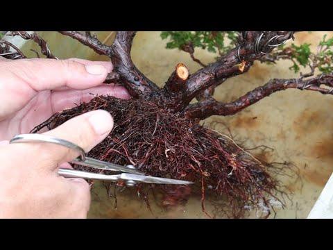 Put a bonsai