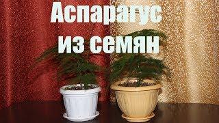 Аспарагус из семян. [Надежда и Мир]