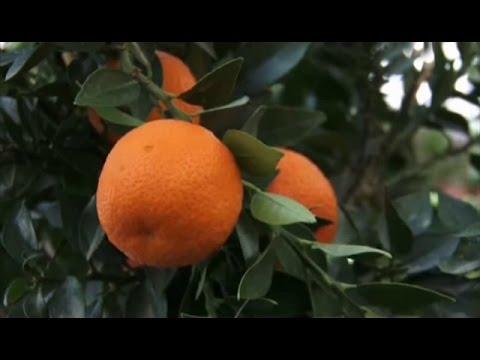 Выращивание и уход за мандарином