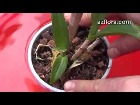 Как пересадить орхидею дендробиум в домашних условиях
