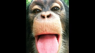 Laugh Challenge - Funniest Monkeys You Have Ever Seen