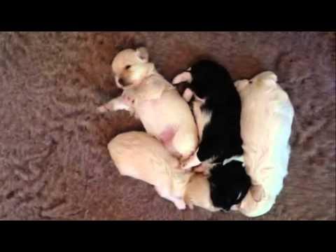 Beautiful 2 week old Havanese Puppies!