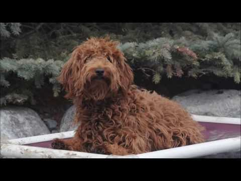 Cinnamon (Goldendoodle) Trained Dog Video
