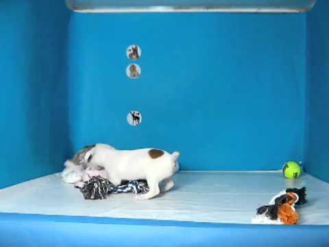 Jack Russell Terrier Hembra REF: 188 77 Venta de perros. Comprar cachorros de perro Jack Russell