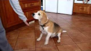 what a beagle will do for food