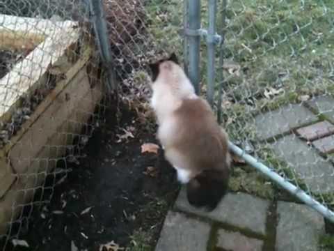 Ragdoll Cat Charlie Ready to Kill Neighborhood Cat - ねこ - ラグドール - Floppycats