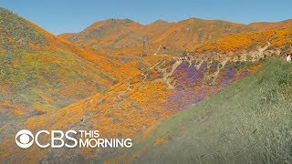 Lake Elsinore poppy fields: Visitors overwhelm California town