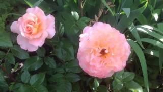видео Роза Августа Луиза. Особенности выращивания