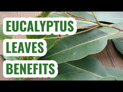 Eucalyptus leaves benefits