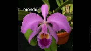 Large-Flowered Cattleyas Part 1.mpg