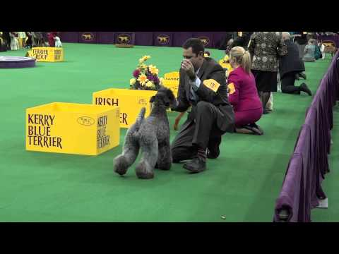 Fun at Westminster with the Kerry Blue Terrier