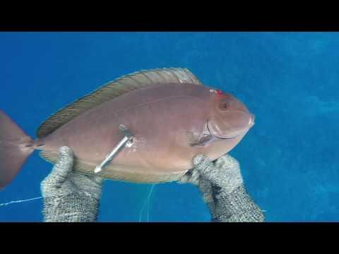 Spearfishing 2016-2017 Raiatea VI