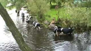 pływające krowy - Brzostowo nad Biebrzą - sierpień 2011