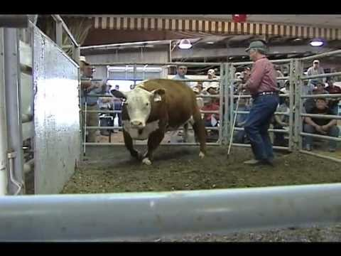 Beef Cattle Auction - Rockingham County Fair, Virginia