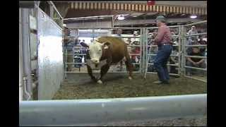 Beef Cattle Auction - Rockingham County Fair, Virginia