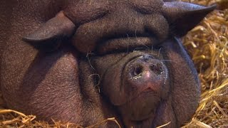 Owner of overfed pig faces animal cruelty charges