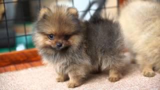 Tiny Male Pomeranian Video Instagram