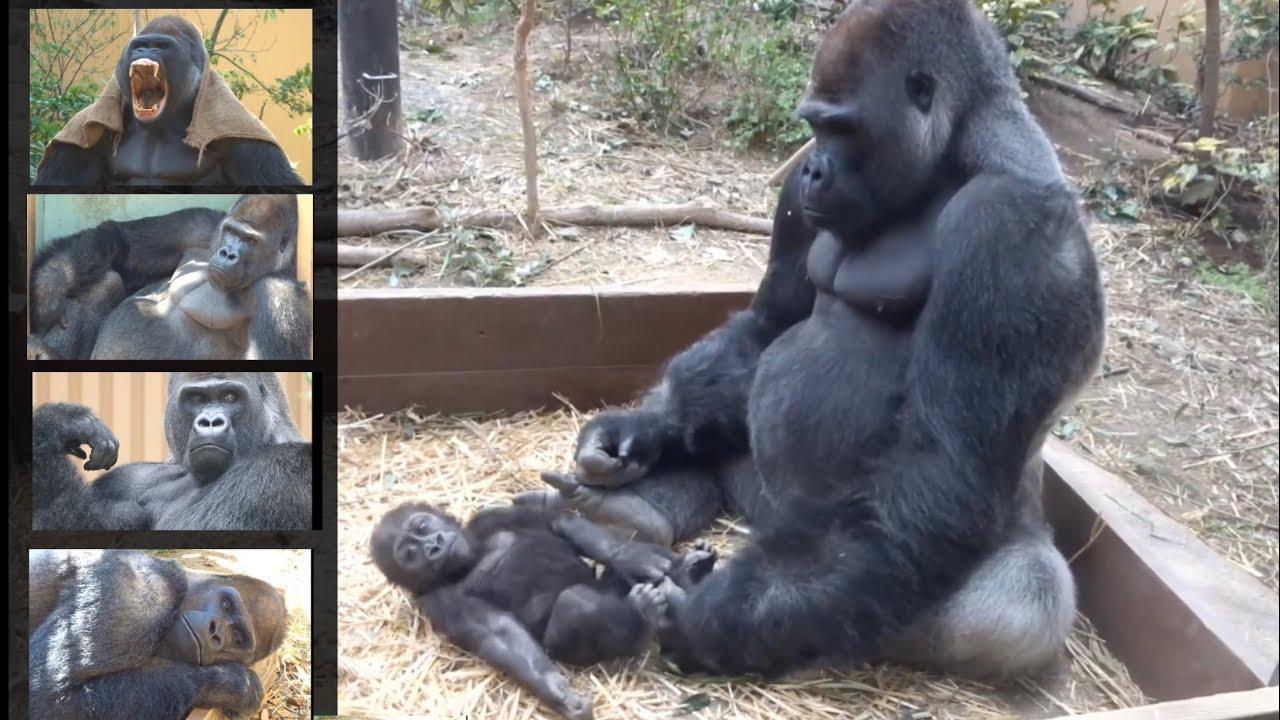 今日は父の日♪2児の良きパパであるモモタロウに感謝⭐️ゴリラ Gorilla【京都市動物園】Happy Father's Day! Today is the day to thank Momotaro