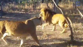 Lioness Sneaks Up on & Scares Lion
