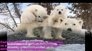 ШОК!!! Печень белого медведя может убить!!!