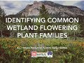 Identifying Common Wetland Flowering Plant Families