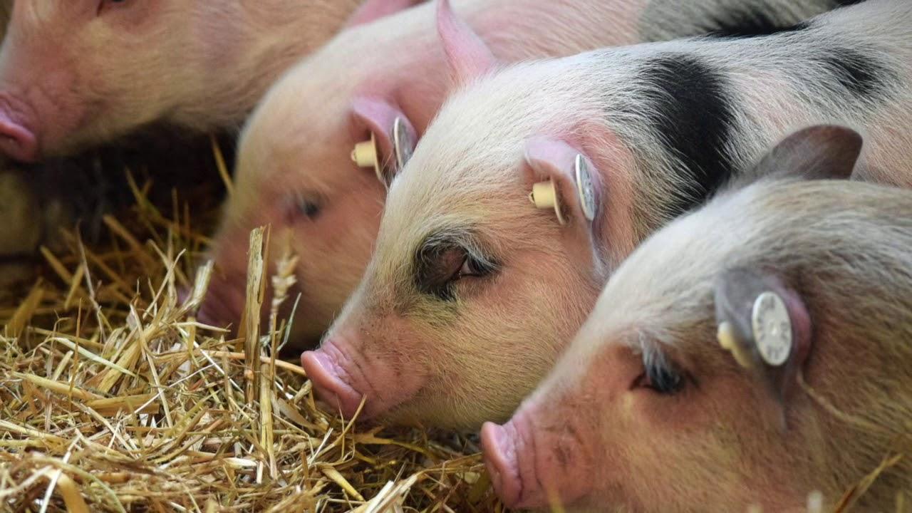 Unsere zuckersüße Minischweinfamilie ❤️