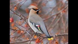 Свиристель - птица хохолок.