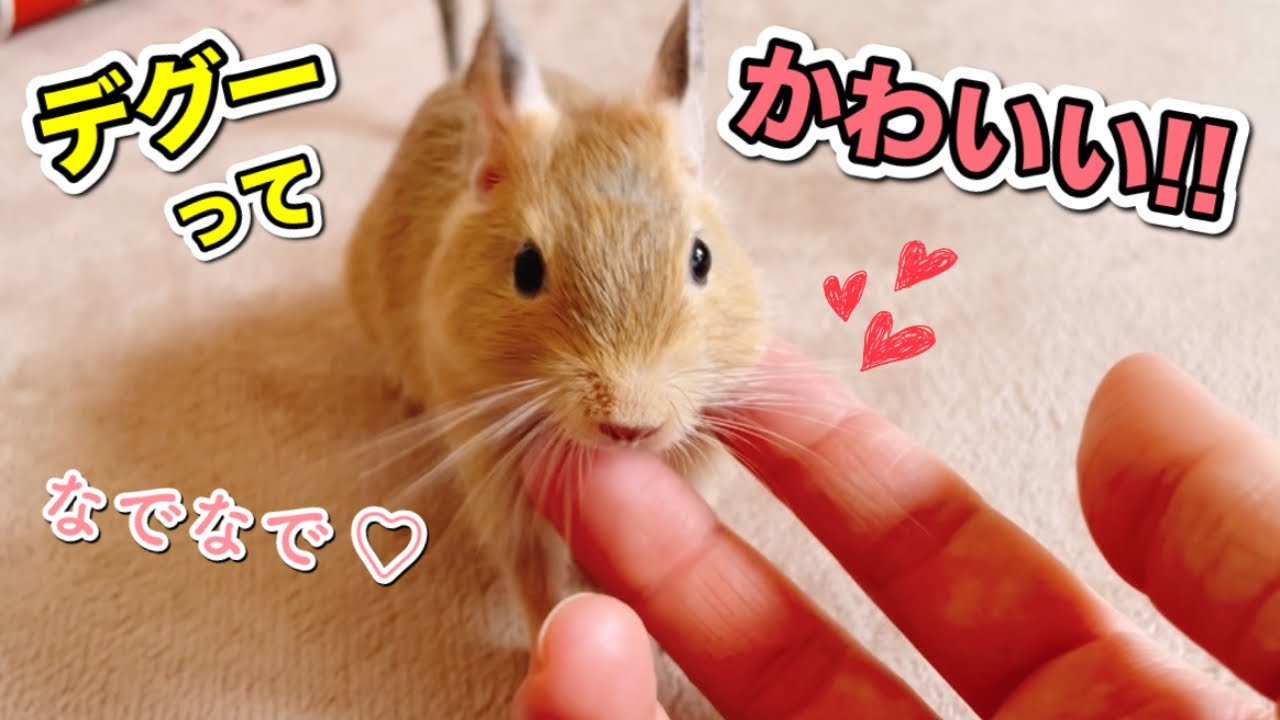 【癒し】デグーって可愛い!飼い主お気に入りの仕草をまとめました【 Cute degu 】