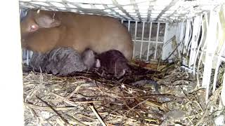 Download Dunia Binatang Marmut : Marmut Hias teddy melahirkan / Little Teddy was Born