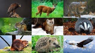 Как говорят животные. Развивающее видео для детей.  Лесные животные 2.  Голоса животных