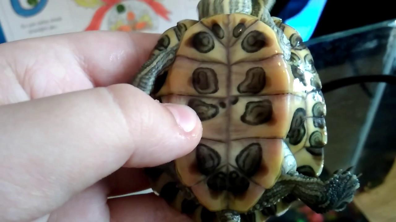 Bir kara kaplumbağası yaşını nasıl belirleyebilirim İki basit yol
