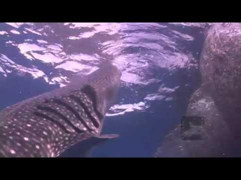Pelagic Productions - Whale Sharks - Cenderawasih Bay, Papua Province, Indonesia