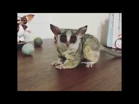 Funny bush babies galago play with balls