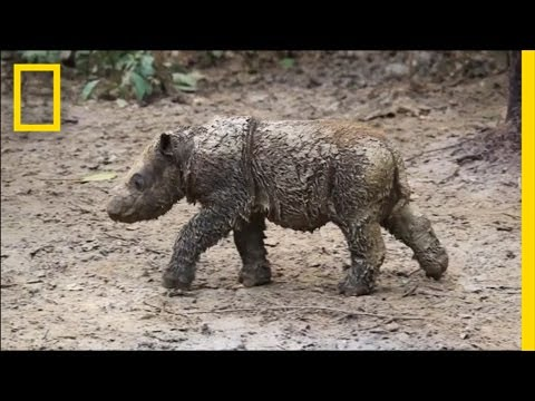 Baby Sumatran Rhino Is Indonesia's First Born in Captivity | National Geographic