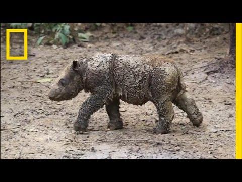 Baby Sumatran Rhino Is Indonesia's First Born in Captivity | National Geographic