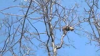 Охота на куницу с Русско-Европейскими Лайками