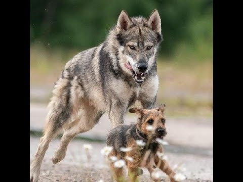 Unfairly Judged Wolf Dog Kicked Out Of Dog Park
