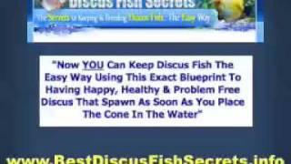 Discus Fish Secrets - Breeding Discus Fish, Care & Curing Discus Fish Diseases