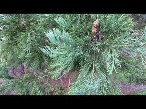Giant redwood (Sequoiadendron giganteum) - leaves - February 2018