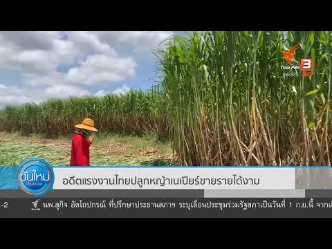 """อดีตแรงงานไทย """"ปลูกหญ้าเนเปียร์"""" ขาย รายได้งาม"""