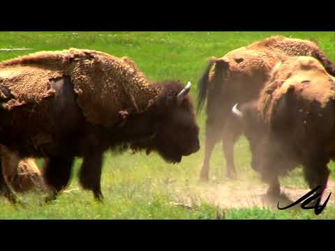 Great American Summer Road Trip 2.4   - Yellowstone River,  Elk and Bison , Montana  - YouTube
