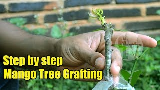 Mango Tree Grafting Step by Step 100% Success