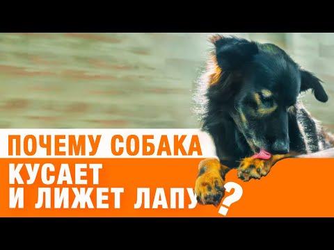 Почему собака кусает и лижет лапы?