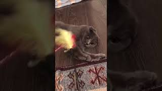 Betti play. Baby girl. Funny cat. Scottish fold play.