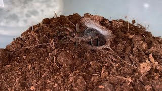 Liphistius cf ornatus. Amazing trapdoor spider.
