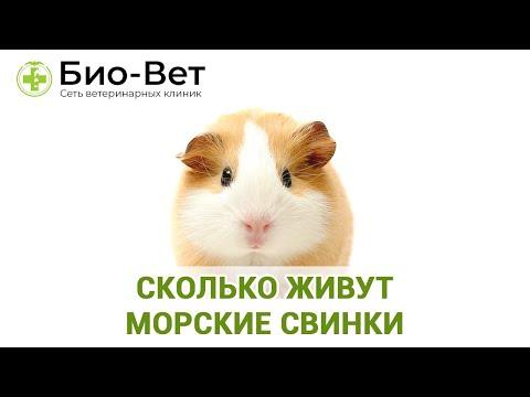 Сколько Живут Морские Свинки & Как Продлить Жизнь Морской Свинке. Ветклиника Био-Вет
