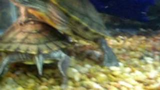 3 Turtles vs 5 Mini Crawfish Handicap Match Take 1
